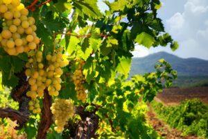 Проекты по закладке виноградников в Крыму